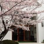 2016/4/3 桜 (聖堂の正面)